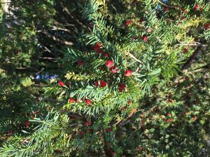 if, Taxus baccata, toxique